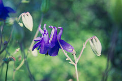 Aquilegia columbine flowers Royalty Free Stock Photography