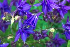 Aquilegia flowers. Aquilegia vulgaris - Common columbine isolate Stock Images