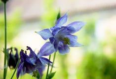 Aquilegia flowers. Aquilegia vulgaris - Common columbine isolate Royalty Free Stock Photo