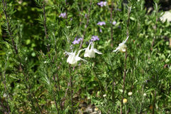 Aquilegia fragrans, Royalty Free Stock Images