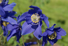 Aquilegia glandulosa Flowers. Aquilegia glandulosa is a rare Columbine species, blooming in the early summer Stock Image