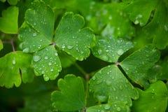 Aquilegia härliga stora sidor med dagg på grön bakgrund Royaltyfri Foto
