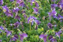 Aquilegia Hybrida, granny`s bonnet, columbine. Popular flowers for garden, parks. Field of blue flowers. Landscape design concept. Close up royalty free stock photos