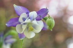 aquilegia kwiat Fotografia Royalty Free