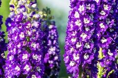 Aquilegia kwiat w lato ogródzie Obrazy Royalty Free