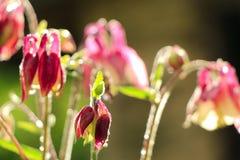 Aquilegia kwitnie po deszczu na zielonym tle obraz stock