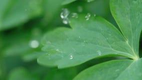 Aquilegia leaf with raindrops stock video