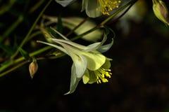 Aquilegia Ogrodowy kwiat Obrazy Royalty Free