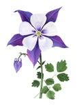Aquilegia púrpura Imágenes de archivo libres de regalías