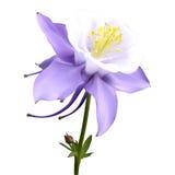 Aquilegia purple-white Royalty Free Stock Photography