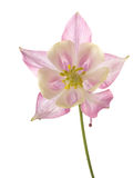 Aquilegia rosa delicato Fotografia Stock