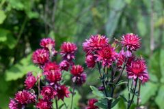Aquilegia Rose Barlow, fiori rosa Fotografia Stock Libera da Diritti