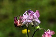 Aquilegia Trädgårds- blomma Fotografering för Bildbyråer