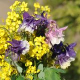 Aquilegia vulgaris και λουλούδι βιασμών Στοκ εικόνα με δικαίωμα ελεύθερης χρήσης