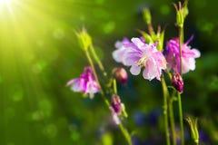 Aquilegia vulgaris - κοινό columbine Στοκ Φωτογραφίες