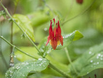 Aquilegia vulgaris Λ, ευρωπαϊκό columbine Στοκ εικόνα με δικαίωμα ελεύθερης χρήσης