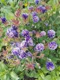 Aquilegia vulgaris 'Christa Barlow 'in de lente stock foto's