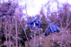 aquilegia vulgaris Στοκ Φωτογραφίες
