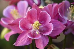 Aquilegia Vulgaris royalty free stock photos
