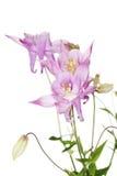 Aquilegia vulgaris Στοκ φωτογραφία με δικαίωμα ελεύθερης χρήσης
