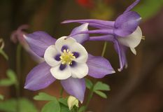 Aquilegia Vulgaris Royalty Free Stock Image