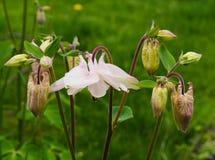 aquilegia vulgaris Στοκ εικόνα με δικαίωμα ελεύθερης χρήσης