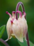aquilegia vulgaris Στοκ φωτογραφίες με δικαίωμα ελεύθερης χρήσης