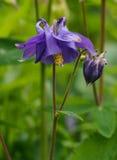 aquilegia vulgaris Στοκ εικόνες με δικαίωμα ελεύθερης χρήσης