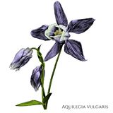 Aquilegia vulgaris blomma med den blommande knoppen och som blomstrar inte ännu fotografering för bildbyråer