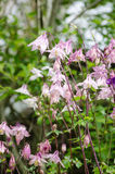 Aquilegia Vulgaris Columbine, Granny's Bonnet - portrait view wi Stock Photo