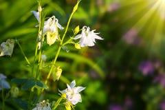 Aquilegia vulgaris - Common columbine. Stock Image