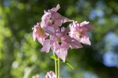 Aquilegia vulgaris, common columbine pink flowers in bloom stock images