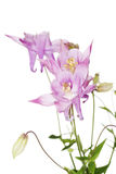 Aquilegia vulgaris Royalty Free Stock Photography