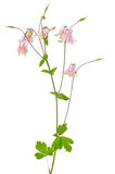 Aquilegia vulgaris flower Royalty Free Stock Photos