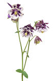 Aquilegia vulgaris flower Royalty Free Stock Photo