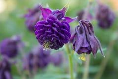 Aquilegia vulgaris, kwiat jest ciemnym fiołkowym Europejskim kolombiną, pospolita kolombina, babci szlafmyca, babci czapeczka fotografia royalty free