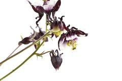 Aquilegia vulgaris Magpie Columbine flowers Stock Image