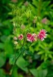 Aquilegia vulgaris var. stellata Stock Images