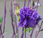 Aquilegia vulgaris 'Winky Double Blue and White' stock photography