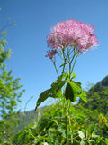 Aquilegiifolium Thalictrum Στοκ εικόνες με δικαίωμα ελεύθερης χρήσης