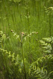 Aquilinum Pteridium Στοκ Φωτογραφίες