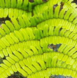 Aquilinum VAR Pteridium latiusculum Στοκ φωτογραφία με δικαίωμα ελεύθερης χρήσης