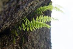 Aquilinum VAR Pteridium latiusculum Στοκ Εικόνες