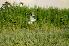 Aquilone bianco Hawk Hunting Immagine Stock Libera da Diritti