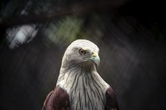 Aquilone di Brahminy, da marino Eagle sostenuto rosso fotografia stock libera da diritti