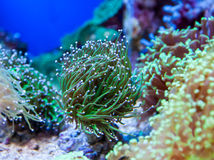 Aqurium Euphyllia Glabrescens Stock Photos