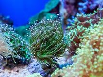 Aqurium Euphyllia Glabrescens. Small frag, in backgound of other Euphyllias and marine aquarium Stock Photos