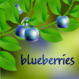 Arándano azul oscuro, jugoso, dulce en una rama para su diseño Vector Foto de archivo