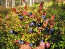 Arándano Bush hermoso con el crecimiento dulce maduro de las bayas Fotografía de archivo libre de regalías