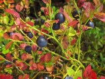 Arándano Bush hermoso con el crecimiento dulce maduro de las bayas Imágenes de archivo libres de regalías